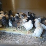 výhřevná deska pro kuřata