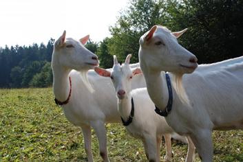 Kozy/Ovce