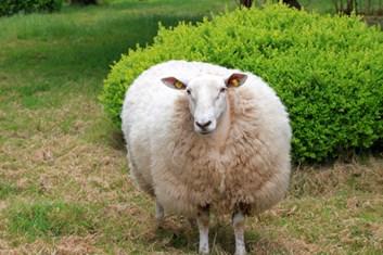 Kozy/Ovce 25kg