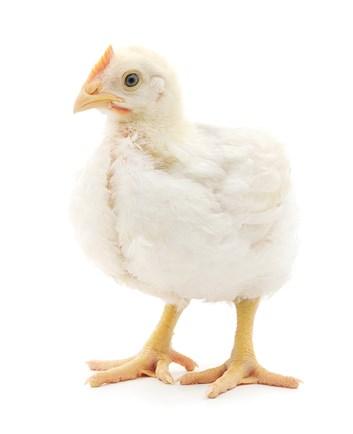 Kompletní krmivo pro výkrm kuřat BR 2 - 5kg